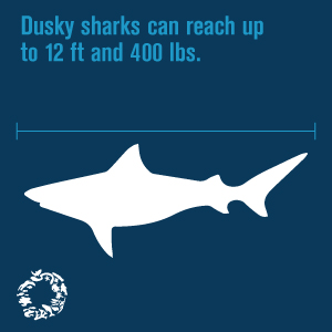 dusky-shark-get-to-know-me-1