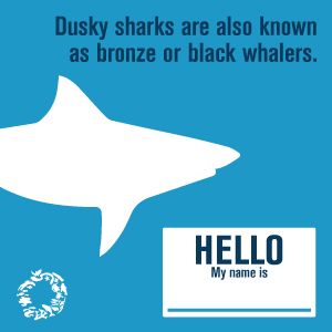 dusky-shark-get-to-know-me-2